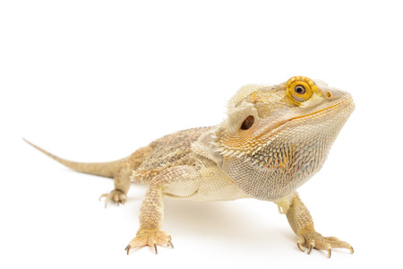 Bearded dragon isolated in front of white background. Zdjęcie Seryjne