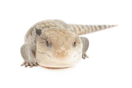Closeup of blue tongued skink isolated in front of white background.
