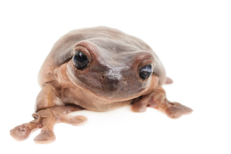 Closeup of a whites tree frog isolated in front of a white background.