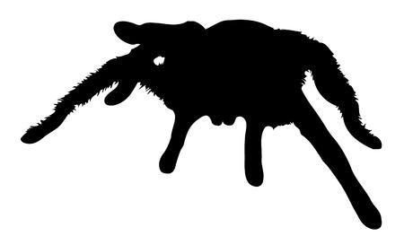tarantula: Vector graphic silhouette of a Chilean rose tarantula.