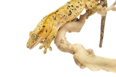 crested gecko: Crested gecko on white . Stock Photo