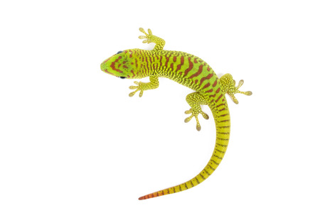 Madagascar day gecko on white . Banco de Imagens