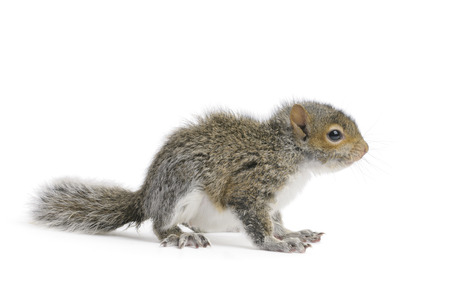 Young Gray Squirrel on a white .