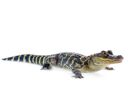 Young American Alligator on white .