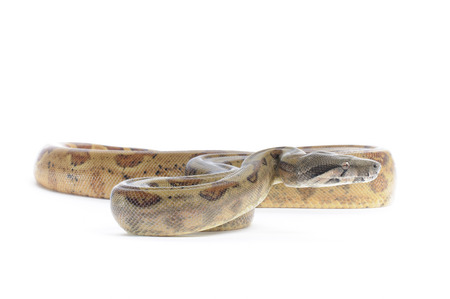 constrictor: Hog Island Boa Constrictor on white backround. Stock Photo