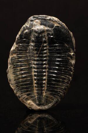 Fossilized trilobite on dark reflective background. Banco de Imagens