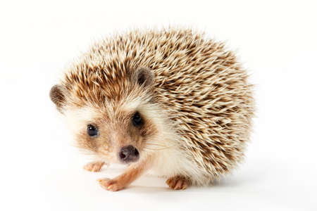 Cute hedgehog on white background.