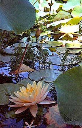 났습니다: This is part of my Sacred Garden series of images taken on Mount Carmel in Haifa, where I found a hidden pond of exotic flowers on terrace 9. 스톡 사진