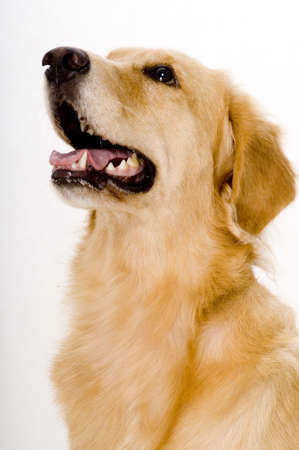 retreiver: A three year old golden retreiver dog shot in studio