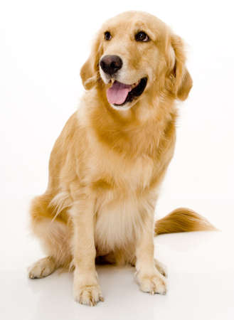 retreiver: A beautiful dog shot in a studio over white background