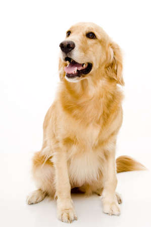 A golden retriever shot in studio with white background