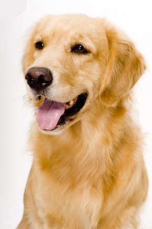 retreiver: A beautiful golden retreiver dog photographed in studio