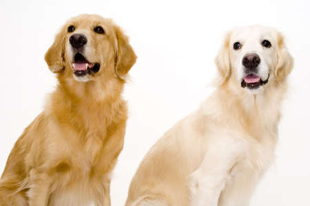 Two golden retriever dogs, one pale and one more golden photo