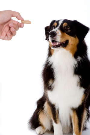 adult bones: A pet dog looks at the treat being offered Stock Photo