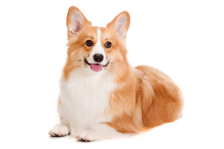 behave: A cheerful brown and white Corgi lying down against a white background Stock Photo