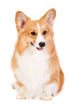 behave: An adorable brown and white Corgi sits obediently against a white background Stock Photo
