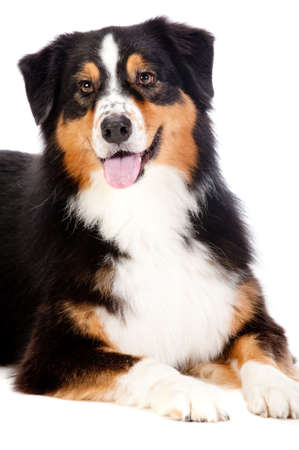 behave: A cheerful black and brown australian shepard lying down obediently against a white background