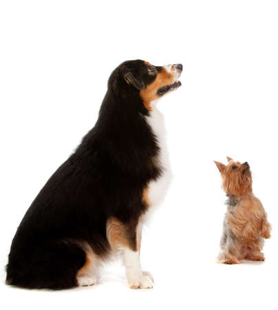 silky terrier: An australian shepard sits obediently on the floor while a silky terrier begs for a treat, on white background