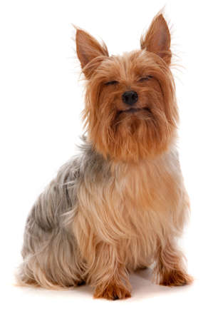 silky terrier: An adorable and cheerful silky terrier sitting against a white background