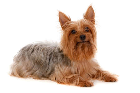 silky terrier: An adorable golden brown silky terrier lying down obediently against white background