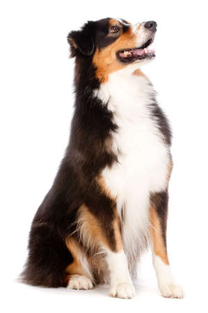 behave: An adorable black and brown australian shepard sits obediently against white background