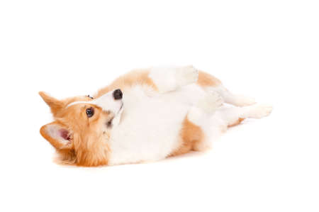 behave: An adorable brown and white corgi rolling over on white background