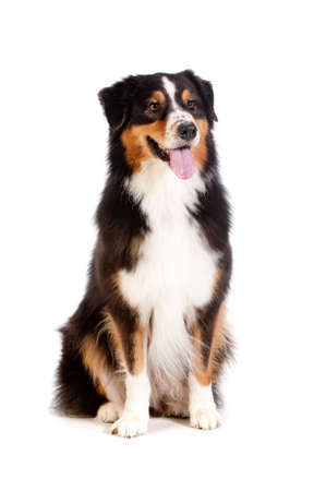 large dog: A cheerful black and brown australian shepard sits obediently against a white background