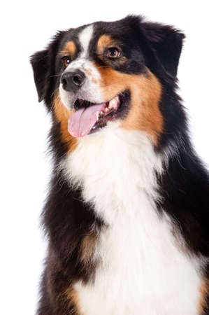 shepard: A cheerful black and brown australian shepard sits obediently against a white background