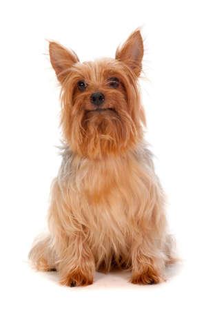 silky terrier: Un adorabile seta dorata terrier siede docilmente contro sfondo bianco Archivio Fotografico