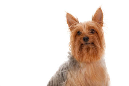 silky terrier: An adorable golden brown silky terrier sits obediently against white background Stock Photo