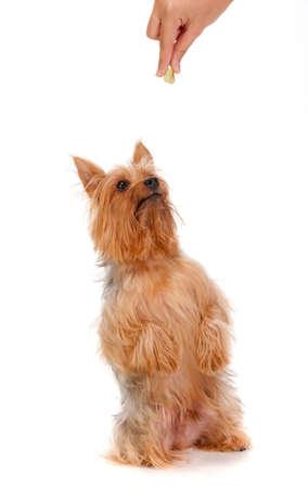 silky terrier: Un adorabile setosa terrier ti supplica per un trattamento dal suo proprietario contro sfondo bianco Archivio Fotografico