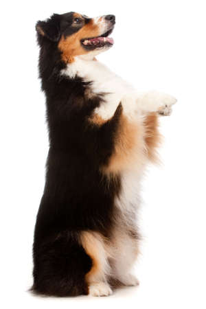 to beg: An adorable black and brown australian shepard standing on his hind legs against white background Stock Photo