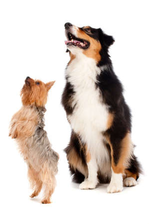 silky terrier: An australian shepard sits obediently as a silky terrier stands on his hind legs, against white background