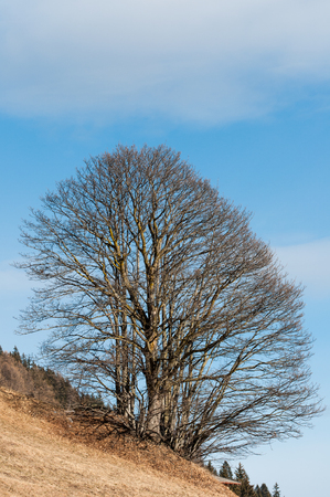 Majestic bare tree with blue sky with clouds background Stock Photo