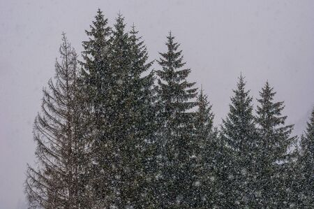 forest under strong snowy weather,  gray sky, white background Stock Photo