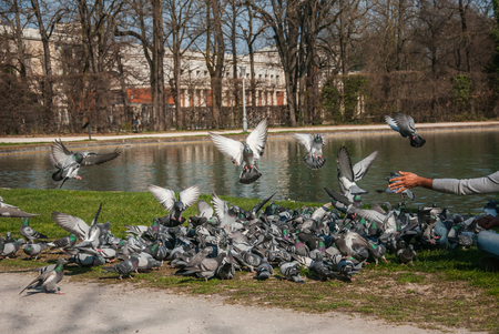 many pigeons in park. hand feeds pigeons