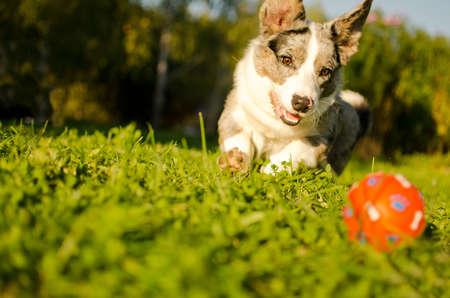 Hond speelt met een bal in de tuin