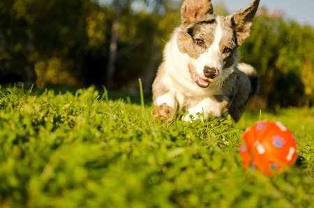 perro corriendo: Perro está jugando con una pelota en el jardín Foto de archivo