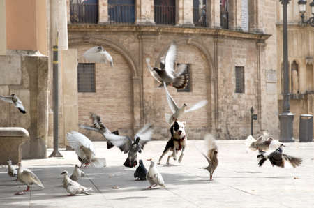 Dog is playing with pigeons in square
