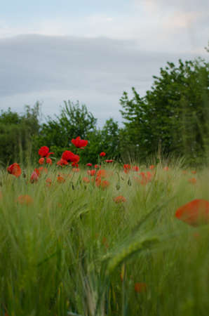 Red poppy flower in green grass photo