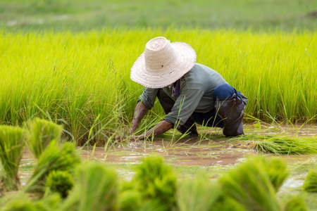 scatters: a farmer scatters the young plant Stock Photo