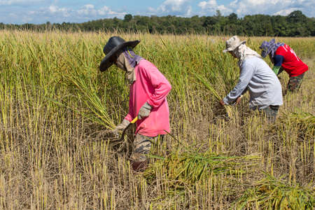 harvests: a farmer harvests rice Editorial