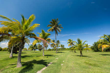 grass area: Hot summer sunny day in Cuba. The park with the tropical palm trees growing on a green grass area near a walking path. Clear blue serene sky under caribbean island.