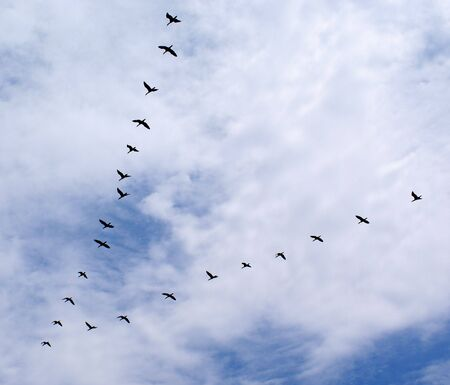 migrating animal: Ducks flying in a triangle formation