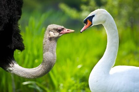 Swan vs ostrich