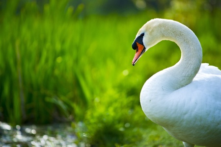Swan Reklamní fotografie