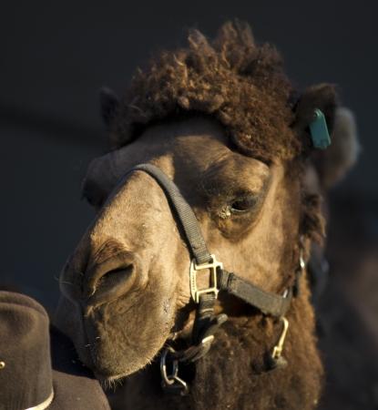 Camel Reklamní fotografie