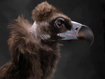 Cinereous vulture (Aegypius monachus), also known as the the Eurasian black vulture or monk vulture. Wildlife animal. Stock Photo