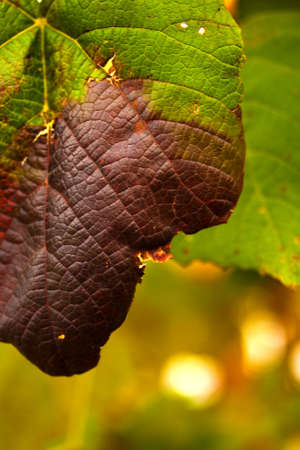 Summers green giving way to a deep burgundy color on a single grape leaf in early autumn. Stock Photo