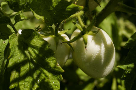Two Roma type green tomatoes on the vine waiting to ripen